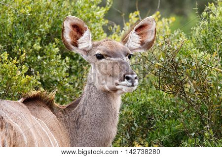 Staring Female Kudu
