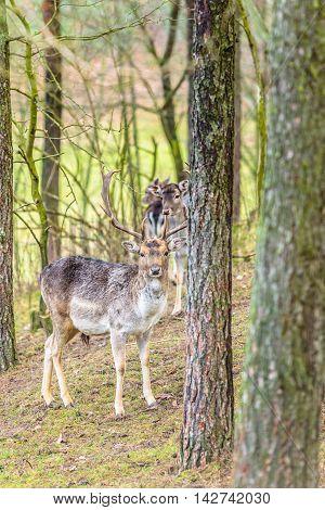 Herd of deer in the wild. Deer flock in natural habitat