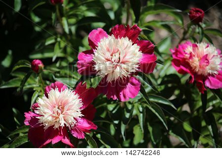 Red And Pink Peony