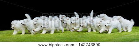 Many puppies of Samoyed dog running on green grass. Black background.