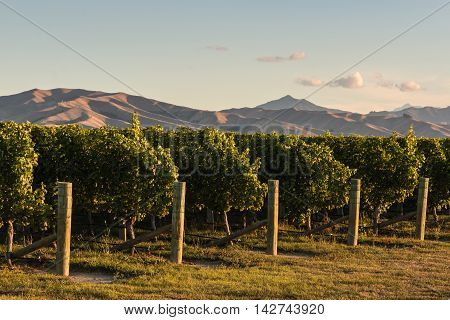 rows of grapevine in Marlborough region, New Zealand