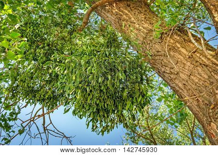 Mistletoe or Viscum album on a poplar branch. Mistletoe is commonly used as a Christmas decoration.