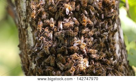 CU bees swarmed in hive honeycomb. Messenger bee does waggle dance to convey to others direction and distance to the pollen it found.
