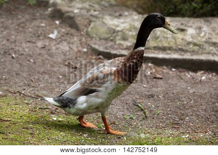 Domestic duck (Anas platyrhynchos domesticus). Domestic bird.