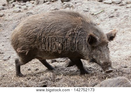 Wild boar (Sus scrofa). Wildlife animal.