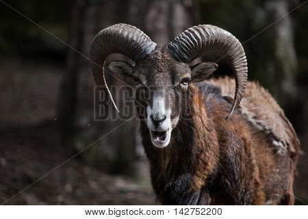 European mouflon (Ovis orientalis musimon). Wildlife animal.