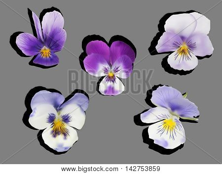 illustration with garden violet flowers isolated on grey background