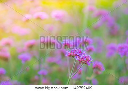 Beautiful pink bunch flowers on green grass background