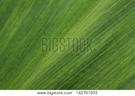 Close up of a striped green leaf.