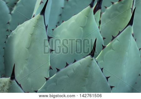 Close-up of the leaves of a cactus.