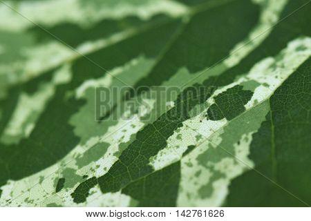 Close-up photo of a mottled green leaf.