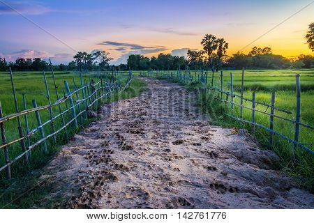 Landscape of soil road with spoor animals and bamboo in nature around Jasmine rice and toddy palm tree in twilight time sun light to the ground at countryside Thailand