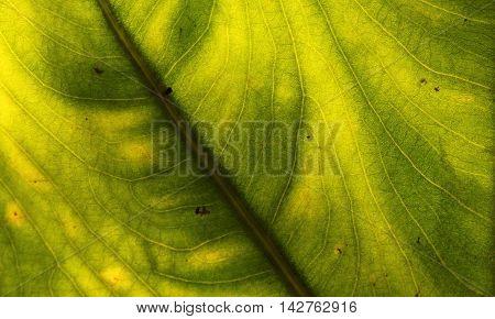 Back illuminated swirled green and yellow leaf.