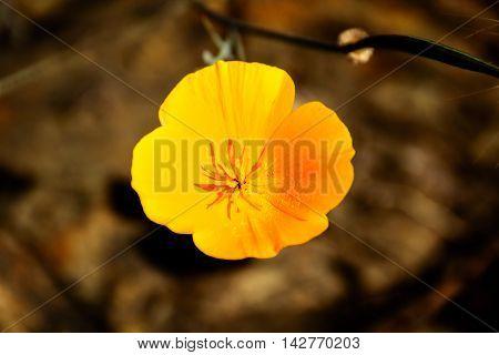 Close Up Yellow Boom Poppy Flower. Poppy is California State Flower.