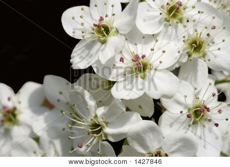 Close up view of beautiful white spring Bradford Pear blossoms (pyrus calleryana poster