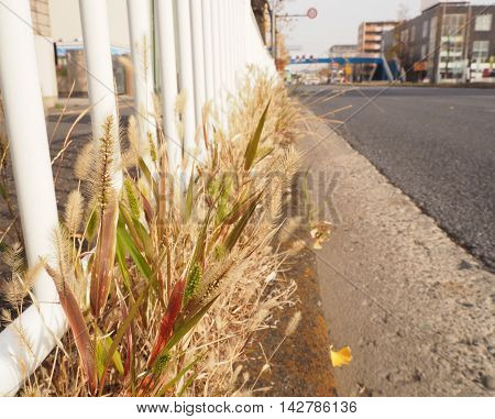 Grass flower beside the road in the city