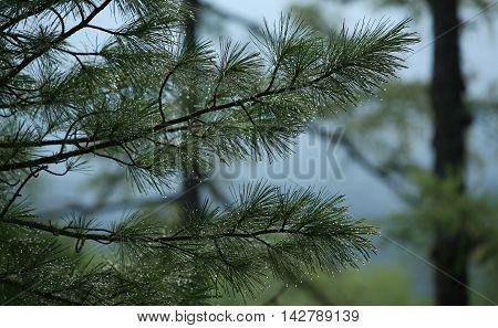 Branch Cedar