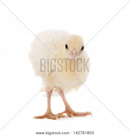 White Indian peafowl chicken, Pavo cristatus, isolated on white background