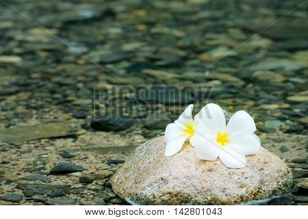 plumeria or frangipani decorated on water in zen style for spa (selective focus)