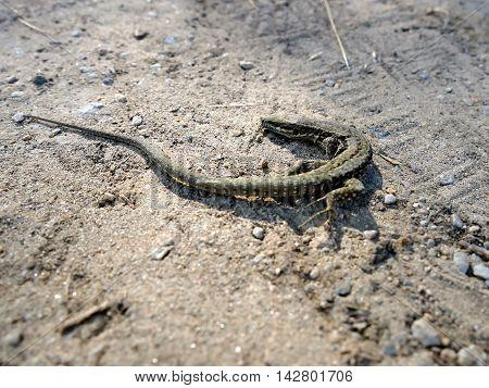 Small brown lizard on the sand. Viviparous Lizard
