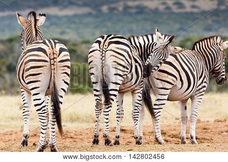 Don't Look, Need To Scratch My Bum - Burchell's Zebra