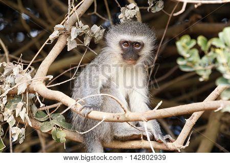 It's Monkey Time - Vervet Monkey