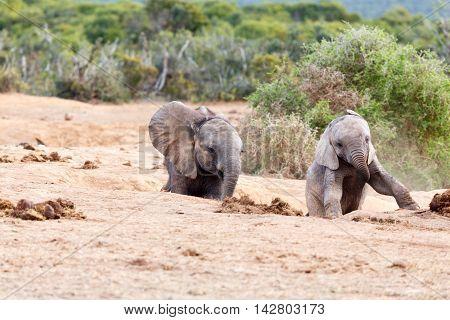 Follow Me - African Bush Elephant