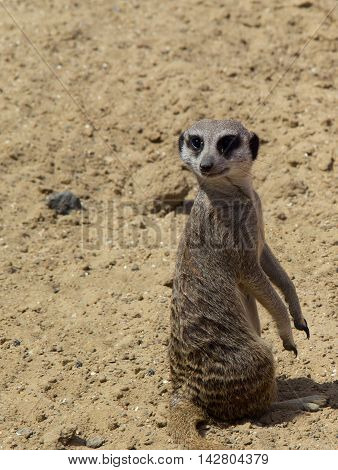 one small meerkat on the nature. photo