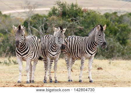 Which Way To Look At The Camera - Burchell's Zebra