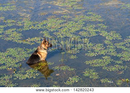 German shepherd dog (East European sheepdog) sits in water of lake and waits owner. Concept of friendship and loyalty.