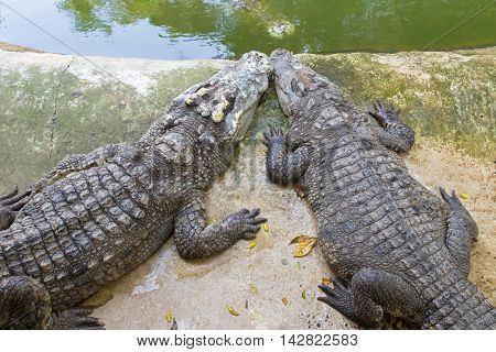 Closeup of 2 Siamese Crocodiles resting on the cement floor near green water pond