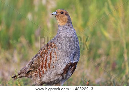 gray partridge wary looks, bird hunting, valuable trophy, colorful feathers, beautiful camouflage