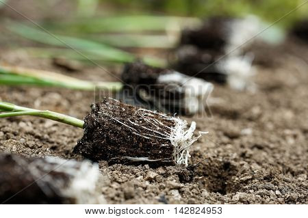 Closeup of leek seedlings lying on freshly ploughed garden bed prepared for planting. Organic gardening healthy food agriculture nutrition and diet background and concept.