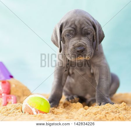 Serious looking Great Dane purebred puppy watching over a ball