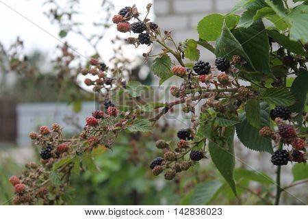 bush od garden dark black juicy and sweet blackberries still ripe under warm August sun
