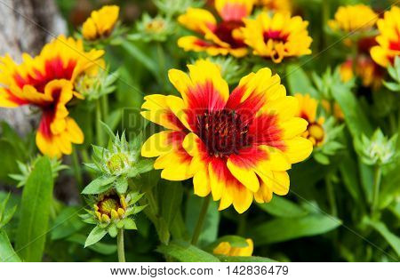 Beautiful autumn flower with yellow and red petals.