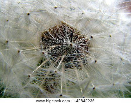 Dandelion rosette flower head seeds close up