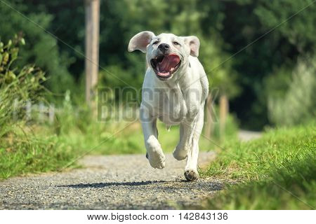 Young Labrador dog puppy runs on a walk with his tongue hanging out - grimace