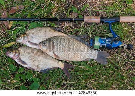 Several Common Bream Fish, Crucian Fish On The Natural Background. Catching Freshwater Fish And Fish