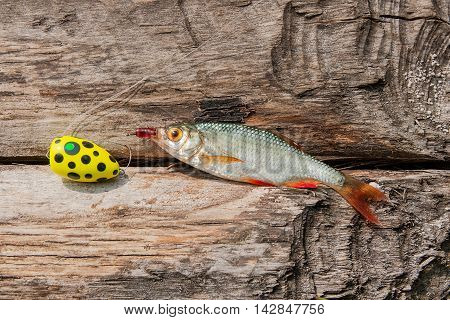 Single Common Rudd Fish On Natural Background.