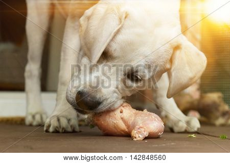 labrador dog puppy eating meat from bone