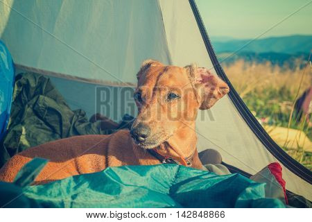 Portrait of a dog which rests in a tent after a hard day on outdoor. A dog hiker. Toned image
