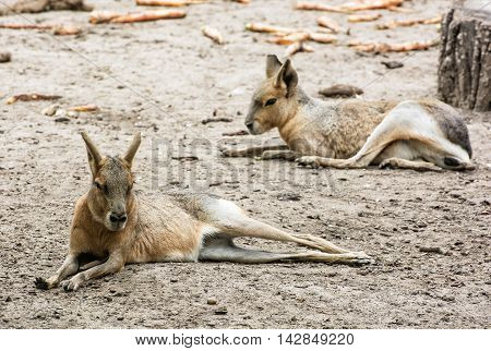 Patagonian mara - Dolichotis patagonum is a relatively large rodent in the mara genus. Animal scene. Beauty in nature. poster