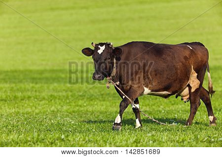 Cow on a green field copy space