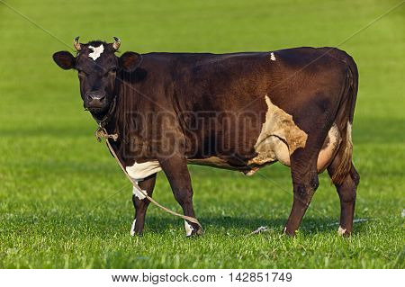 Brown cow pasturing on a green field