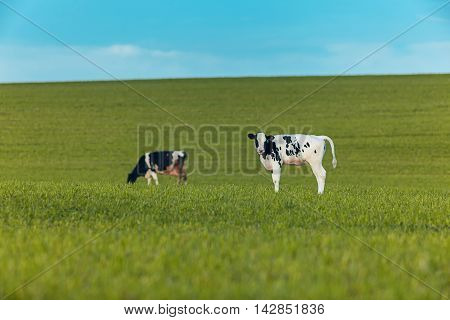Two cows grazing on a green field