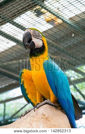 Bottom view of Blue-and-yellow macaw or Ara ararauna.