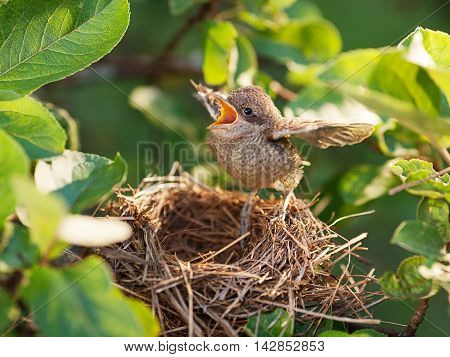 Baby bird sittiing on edge of the nest and trying to fly (Common Whitethroat - Sylvia communis)