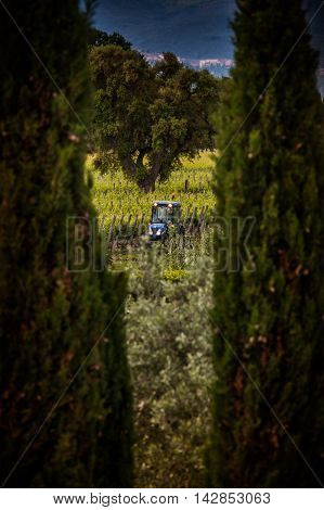 Processing and care of the vineyards in Tuscany of red and white wine in Bolgheri province of Leghorn