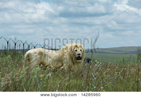 A young male lion in his natural habitat
